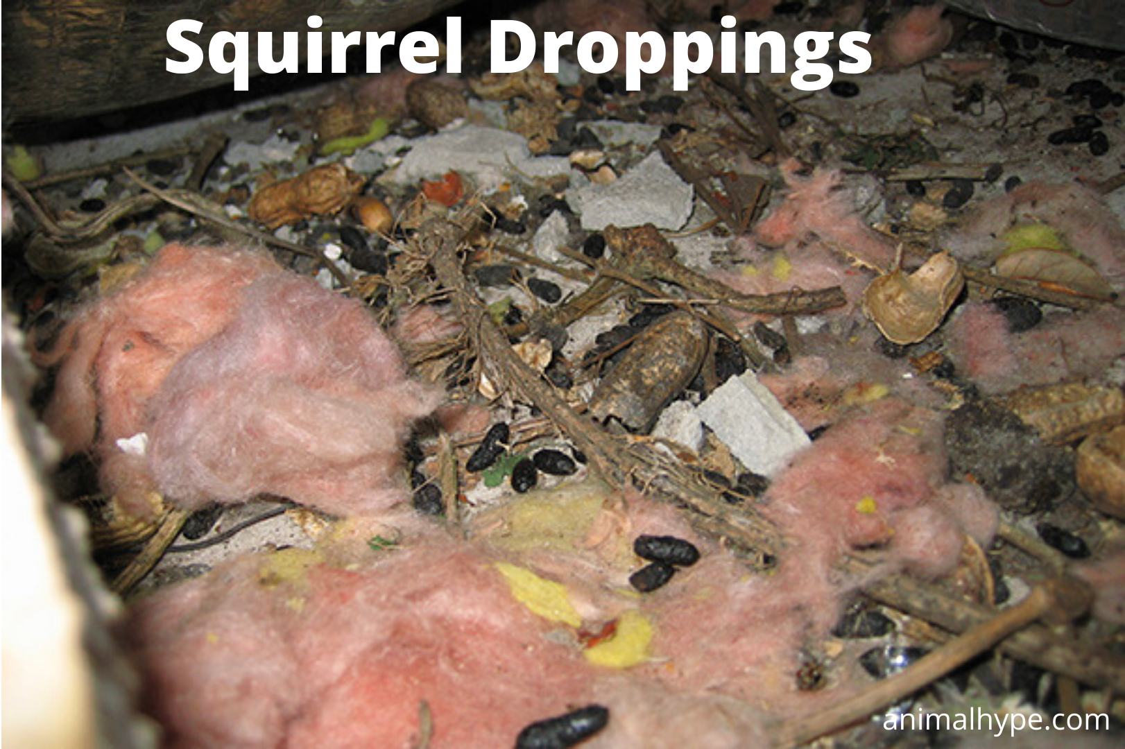 Squirrel Droppings
