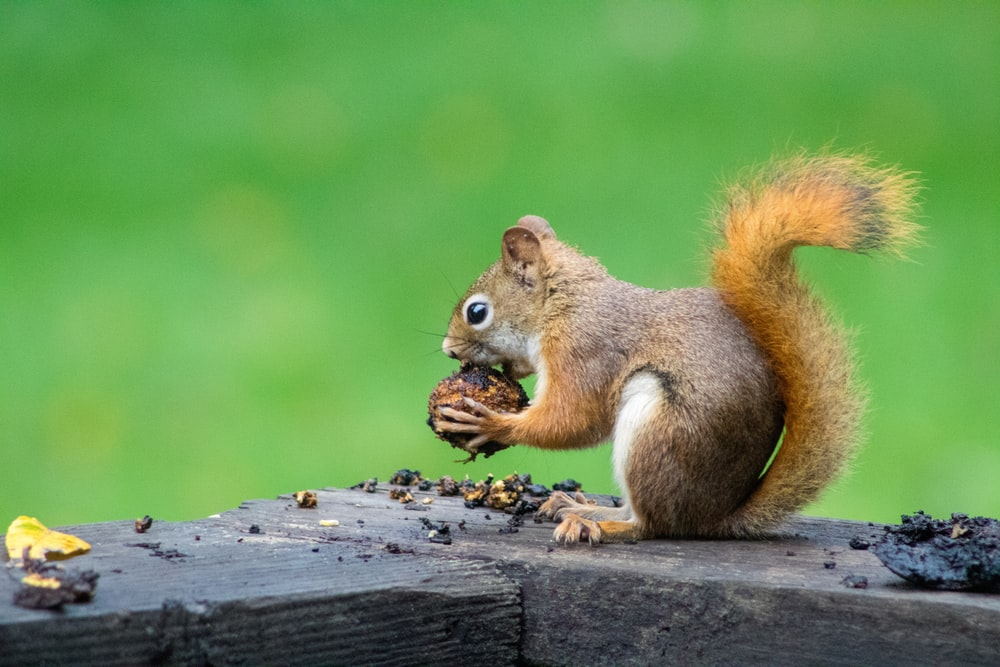 Squirrel Names