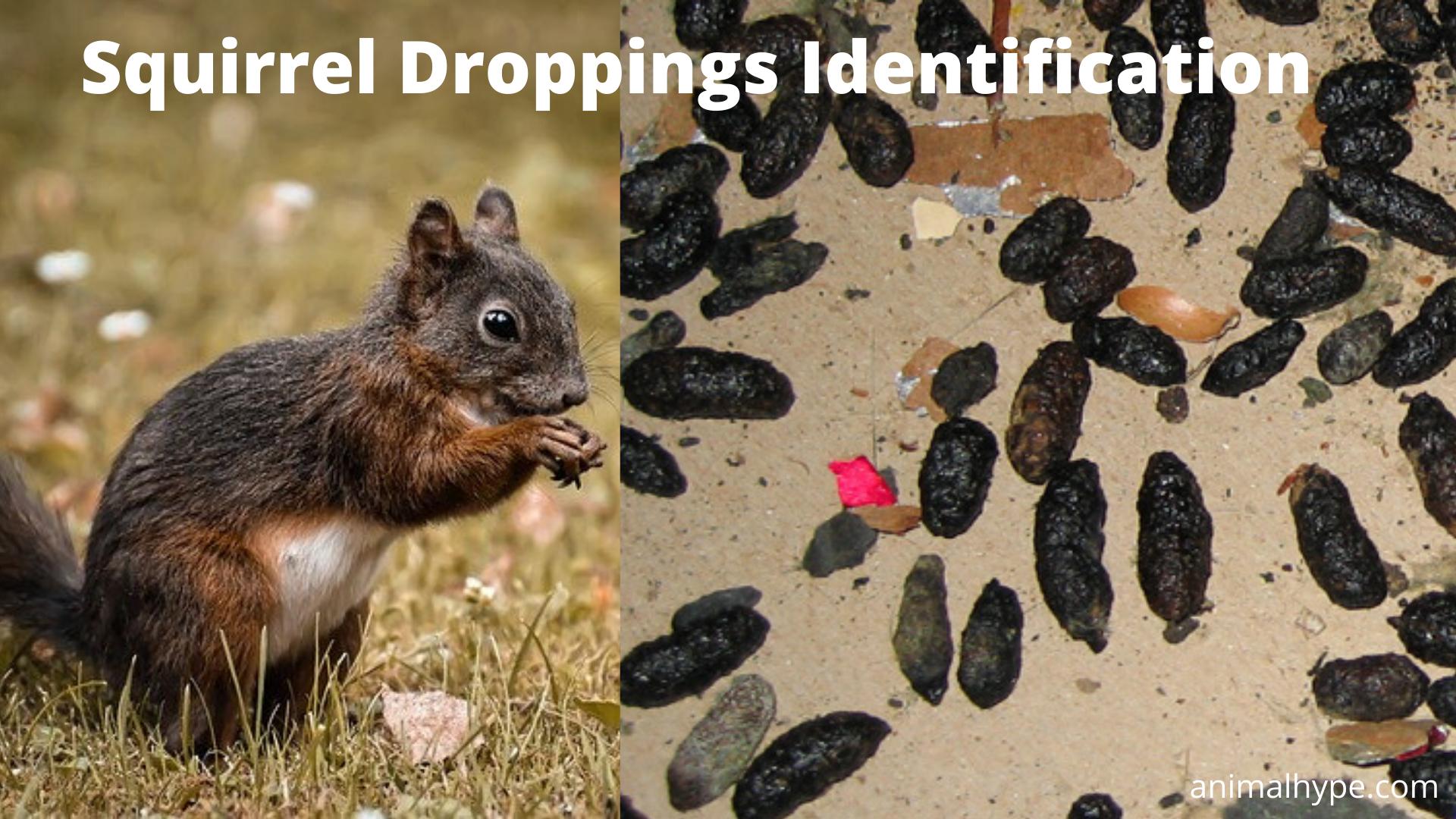 What does squirrel poop look like?