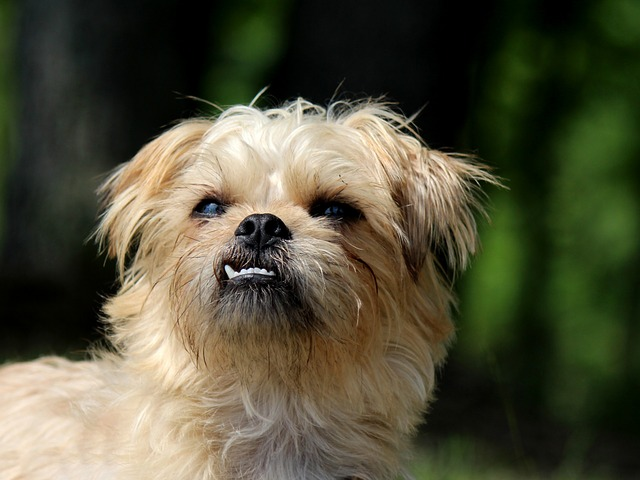 Why You Should Never Own Brussels Griffons