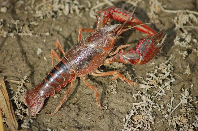 Freshwater crayfish names