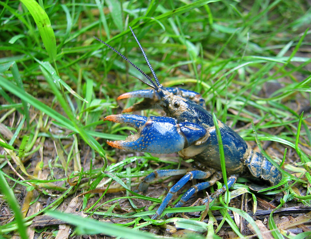 blue crayfish names