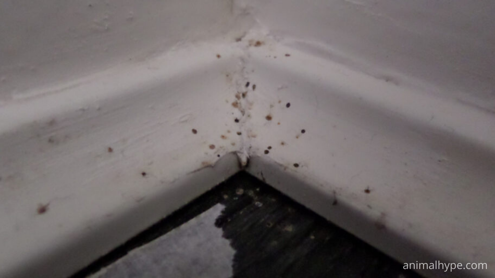 spider droppings