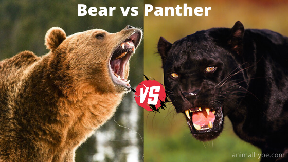 Bear vs Panther