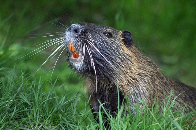 Beaver Incisors