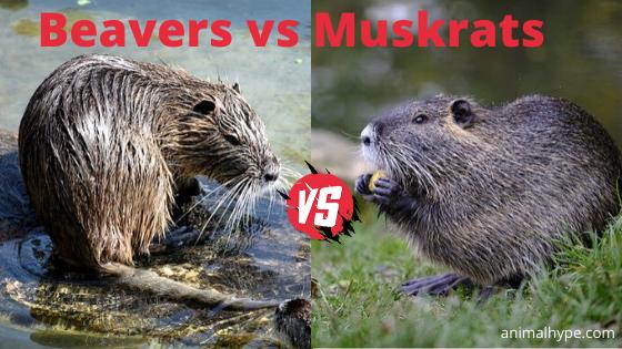 Beavers vs Muskrats