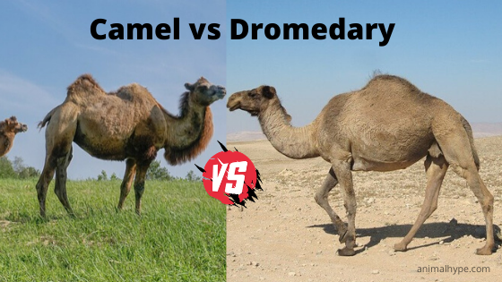 Difference between camel and dromedary