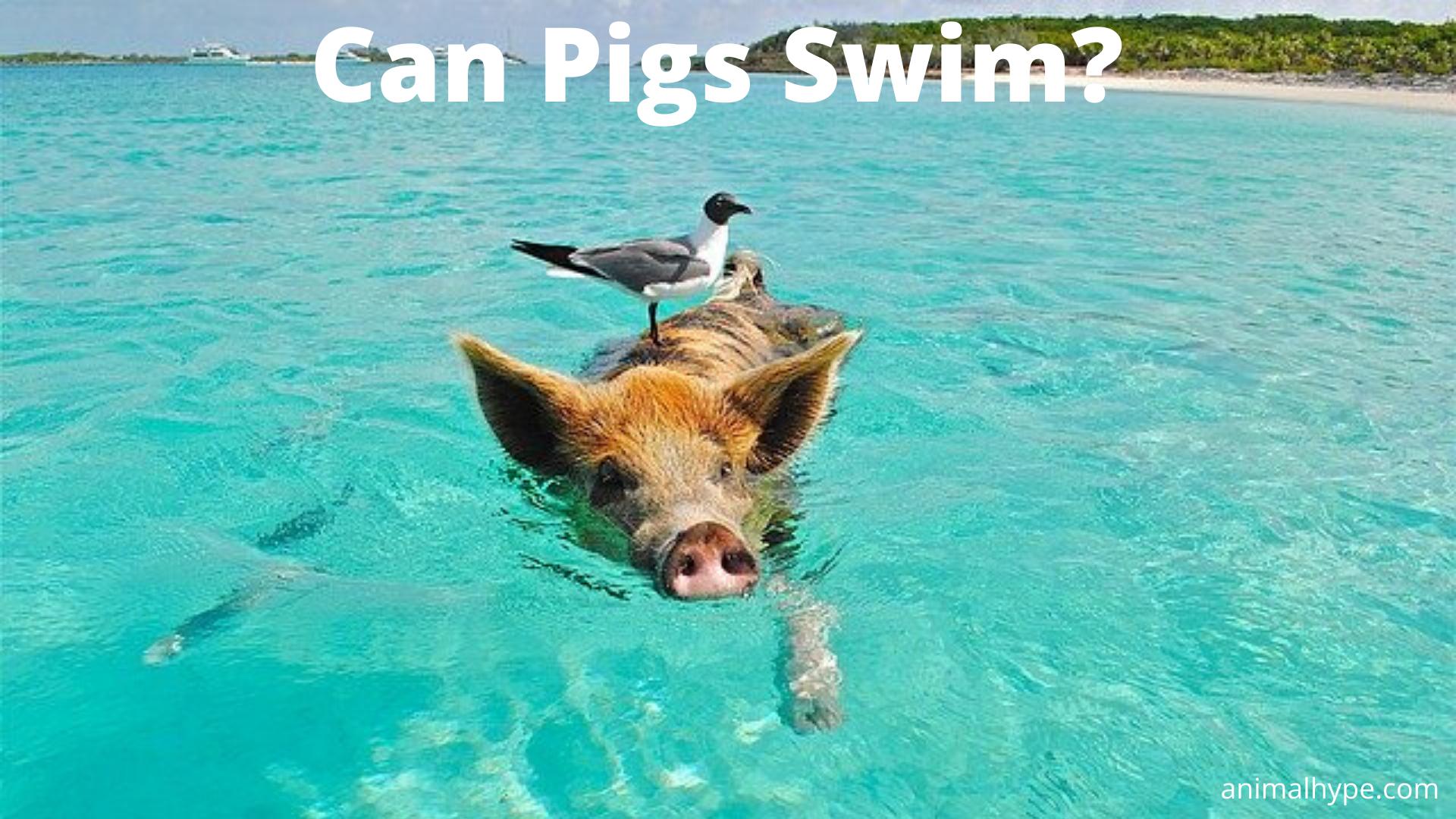Can Pigs Swim