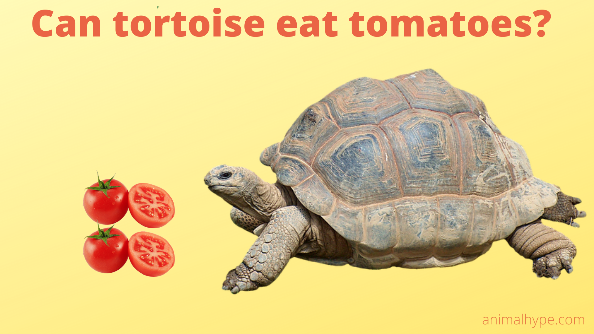 Can Tortoise Eat Tomatoes