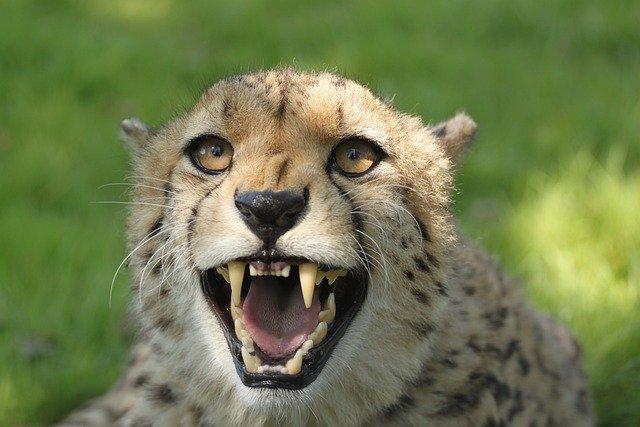 Cool Cheetah Names