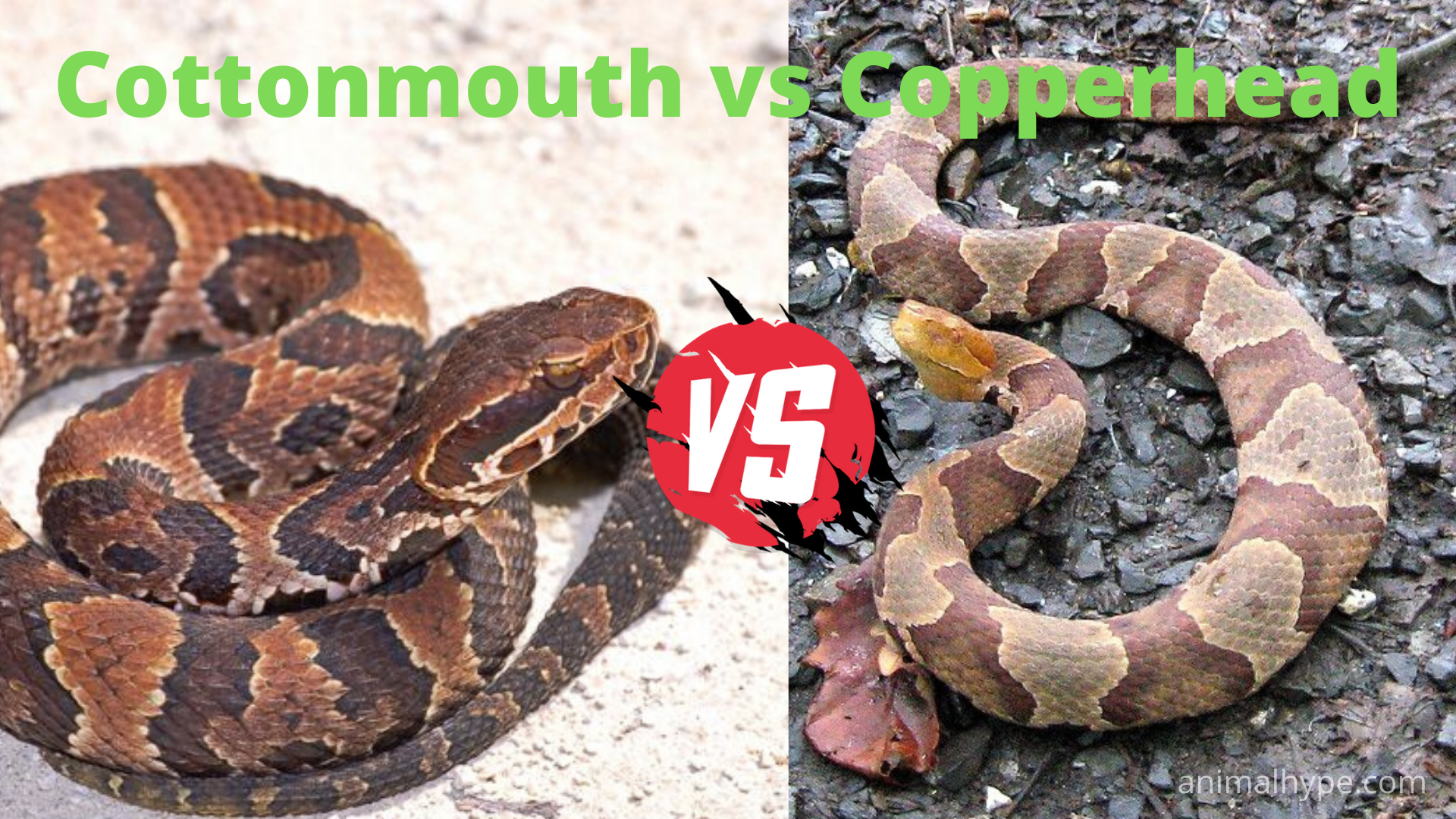 Cottonmouth vs Copperhead Snake