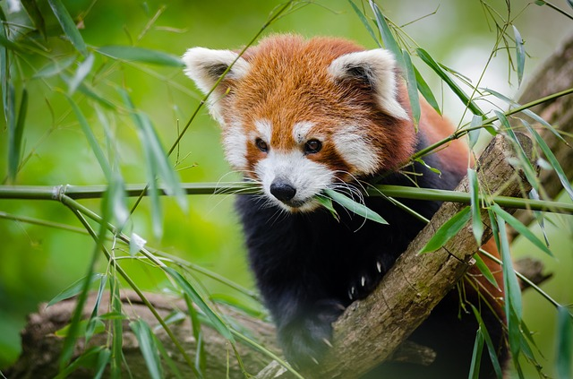 Cute red panda names