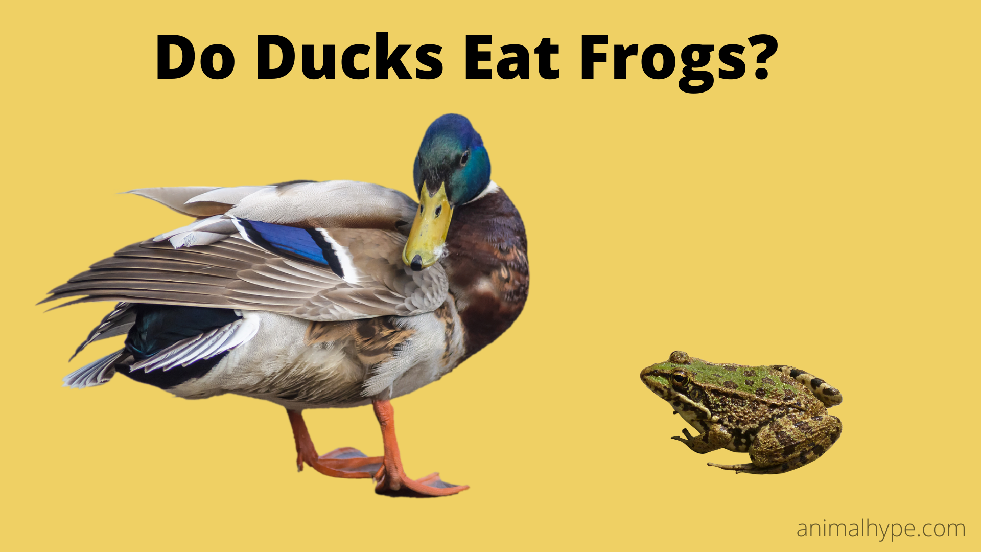 Do Ducks Eat Frogs