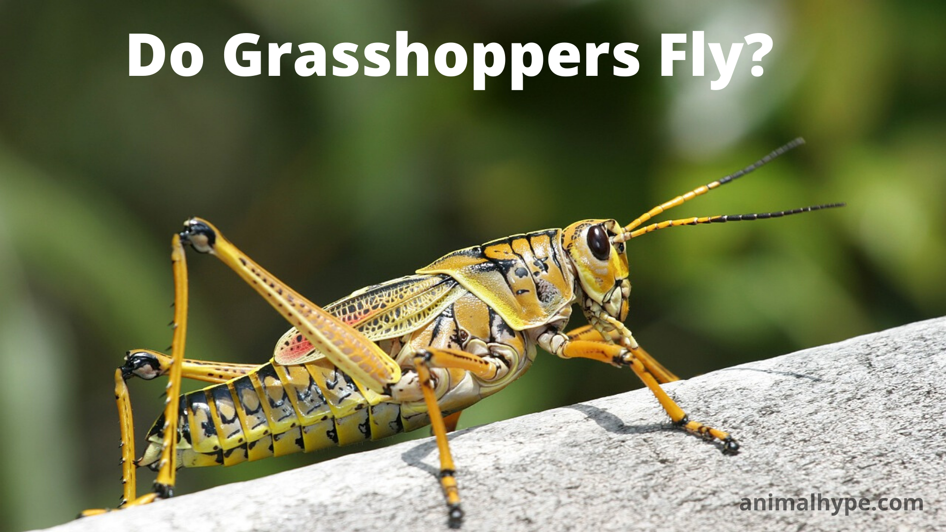 Do Grasshoppers Fly