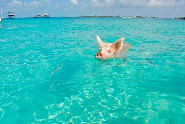 Do pigs love swimming