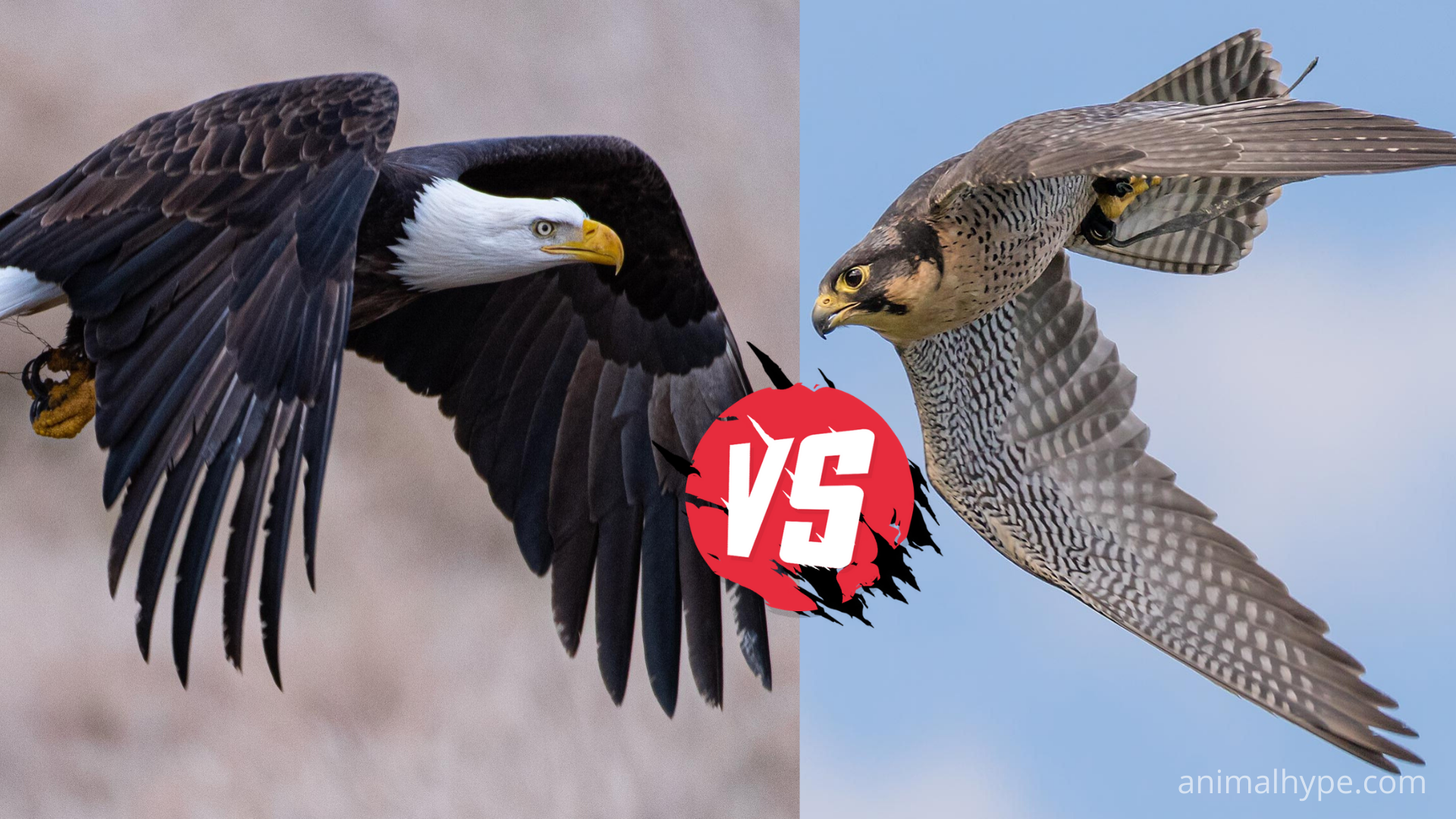 Difference between eagle and falcon