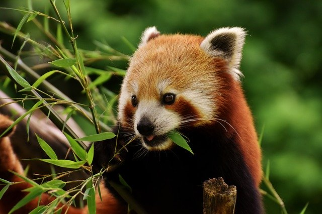 Female red panda names