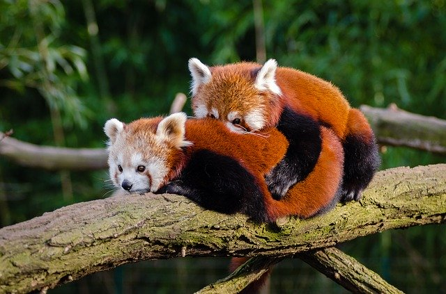 Funny red panda names