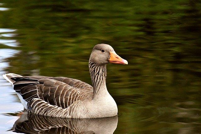 Goose vs Swan