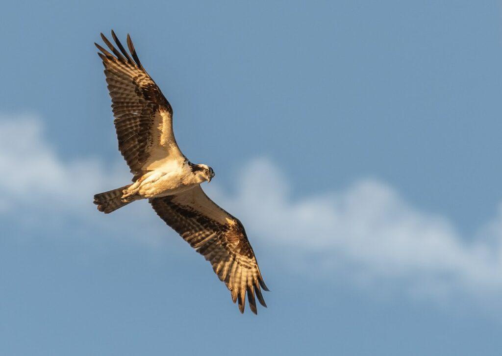Hawk Spiritual Meaning