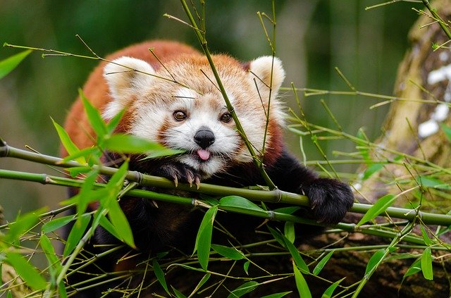Male Red Panda Names