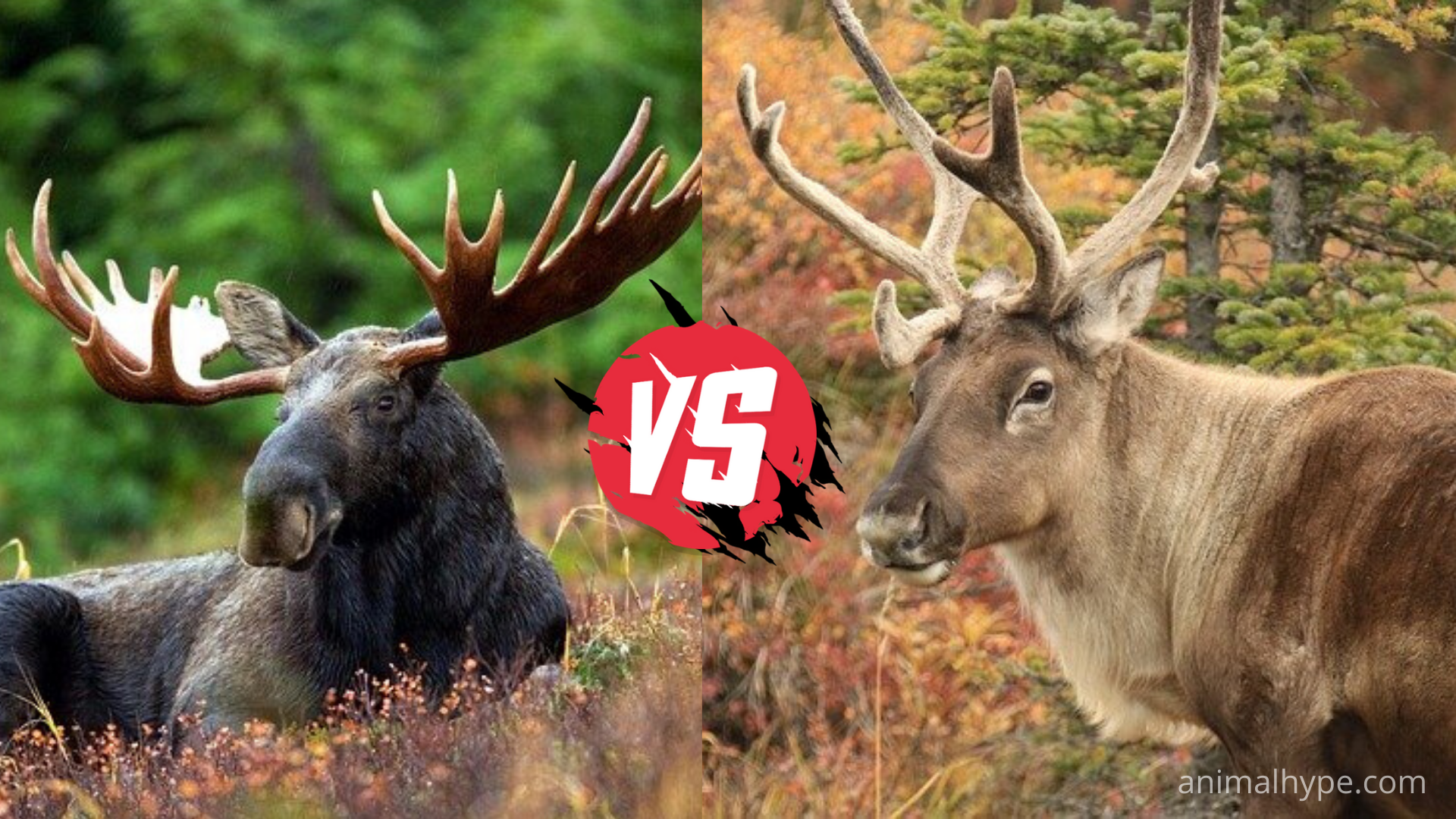 Difference Between Moose and Caribou