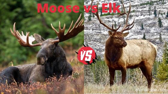 Moose vs Elk