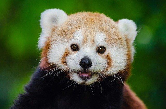 Red Panda Names