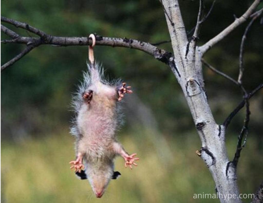 Sleeping Possum