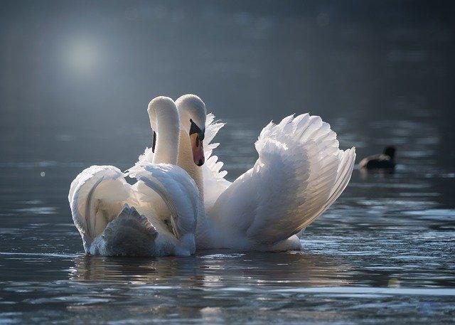 Swan Breeding