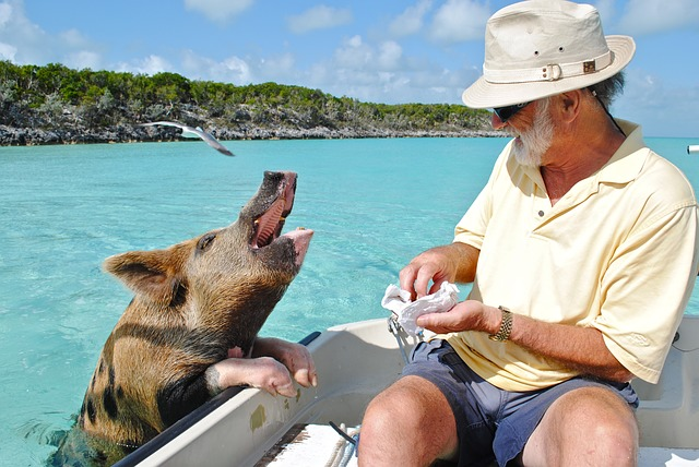Swimming Pigs in Bahamas