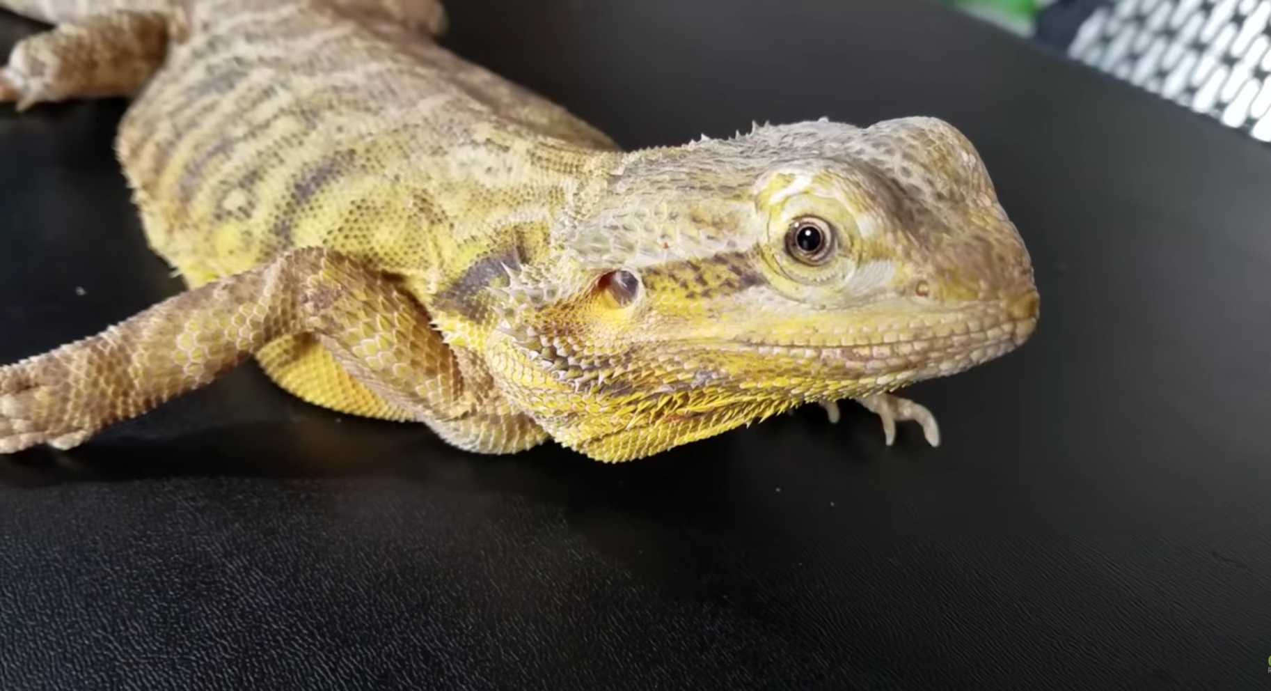 bearded-dragon-names