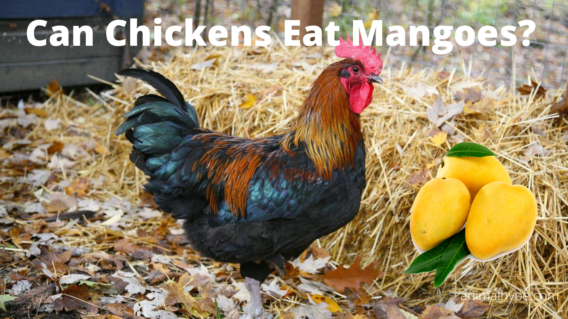 Can Chickens Eat Mangoes