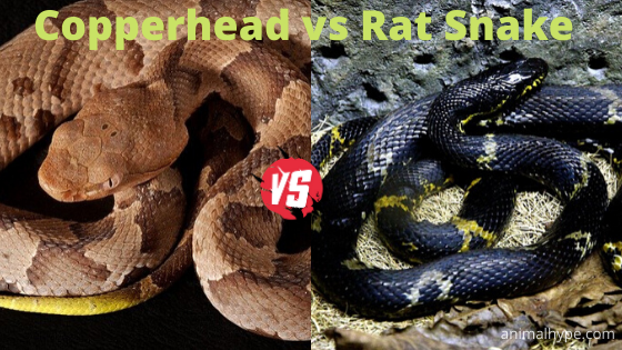 Copperhead vs Rat Snake