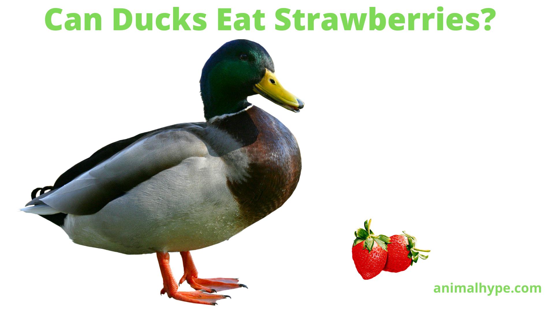 Can Ducks Eat Strawberries