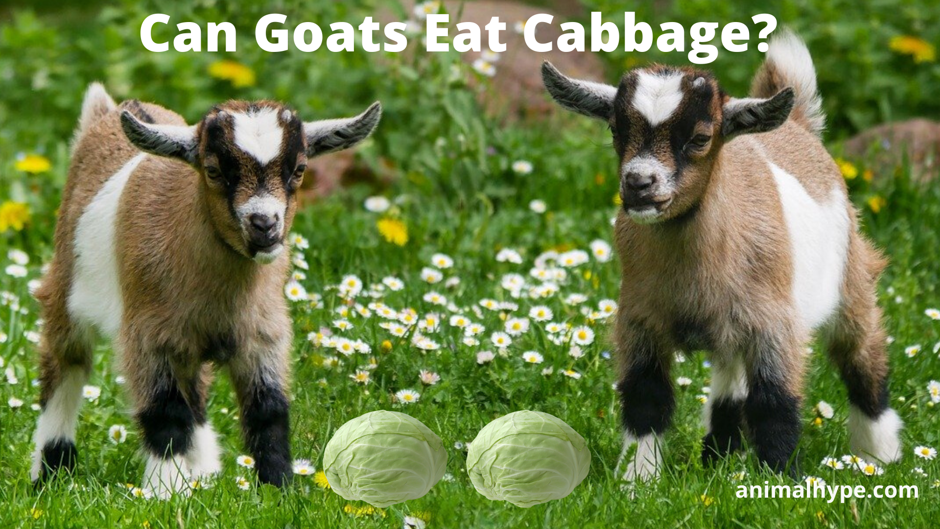 Can Goats Eat Cabbage
