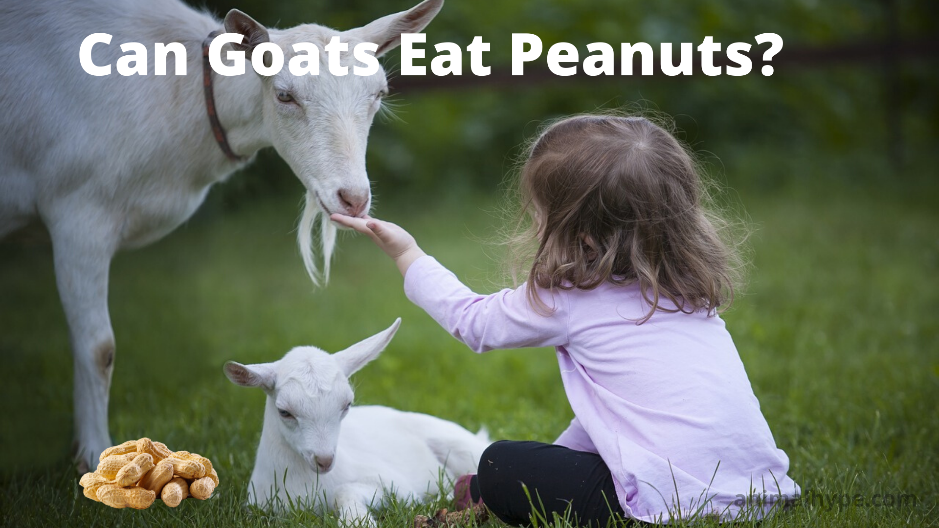 Can Goats Eat Peanuts