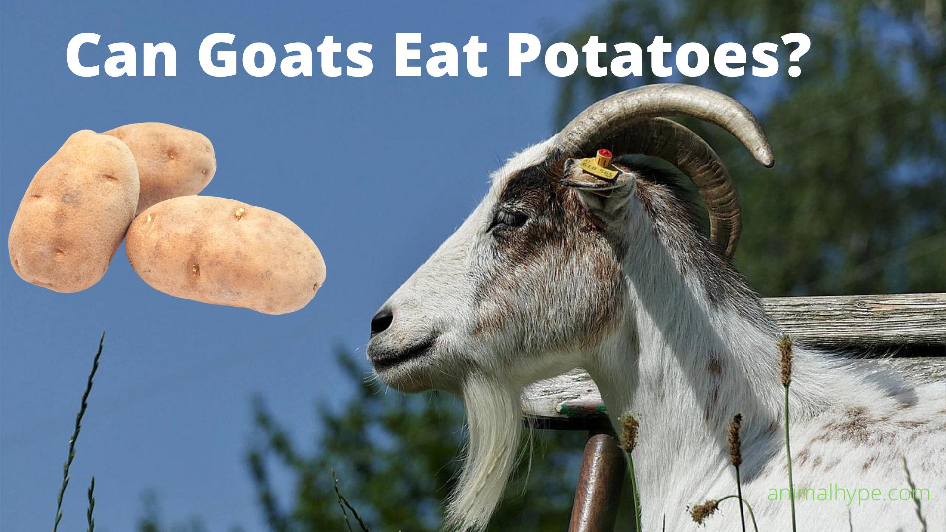 Can Goats Eat Potatoes