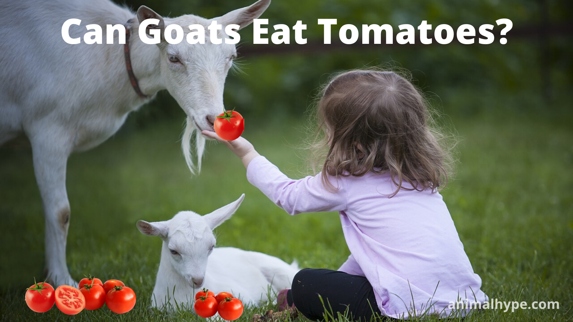 Can Goats Eat Tomatoes