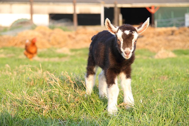 Can I feed cabbages to baby goats