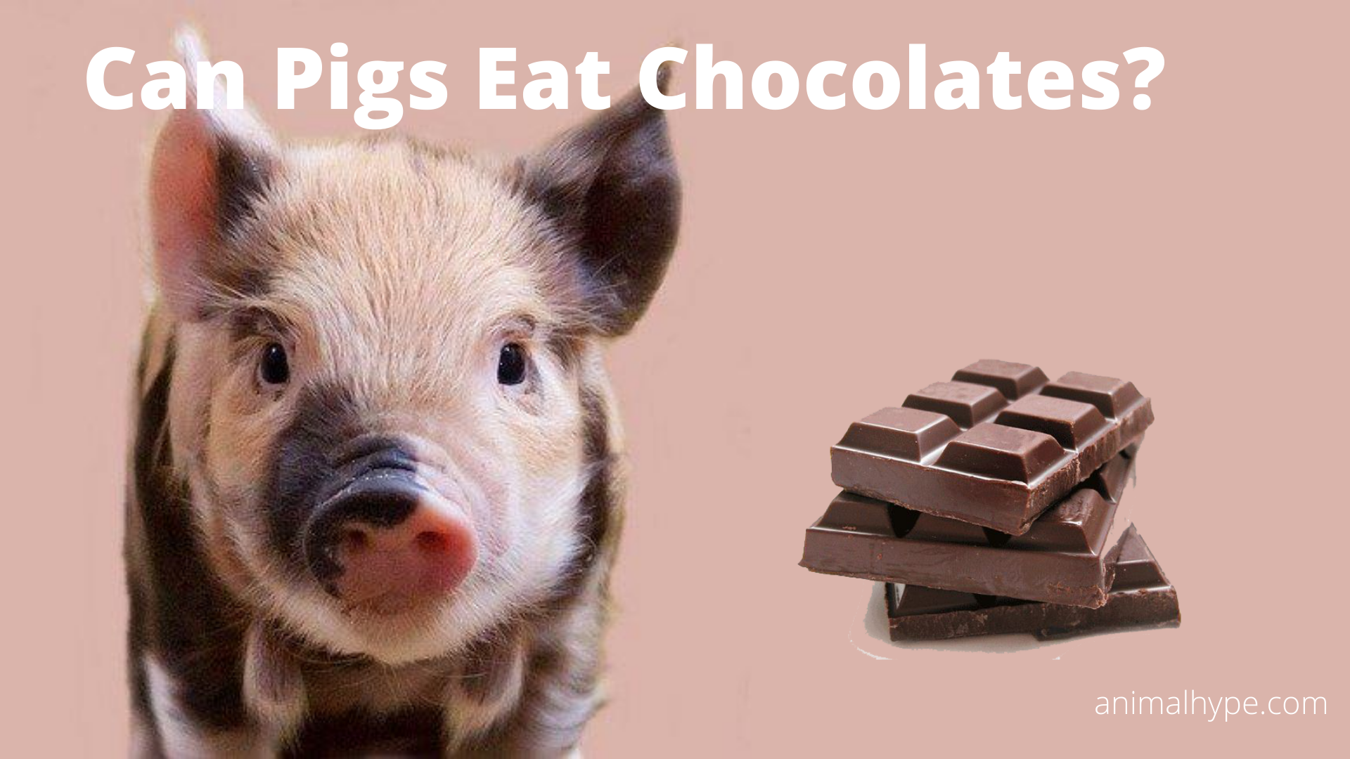 Can Pigs Eat Chocolates