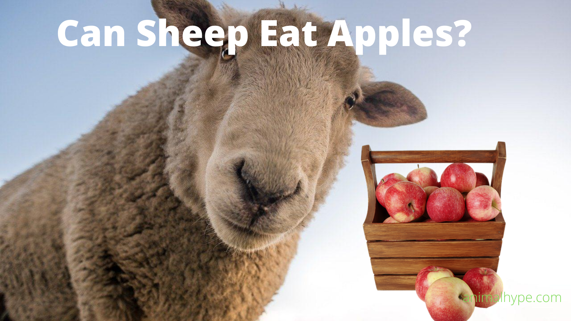 Can Sheep Eat Apples