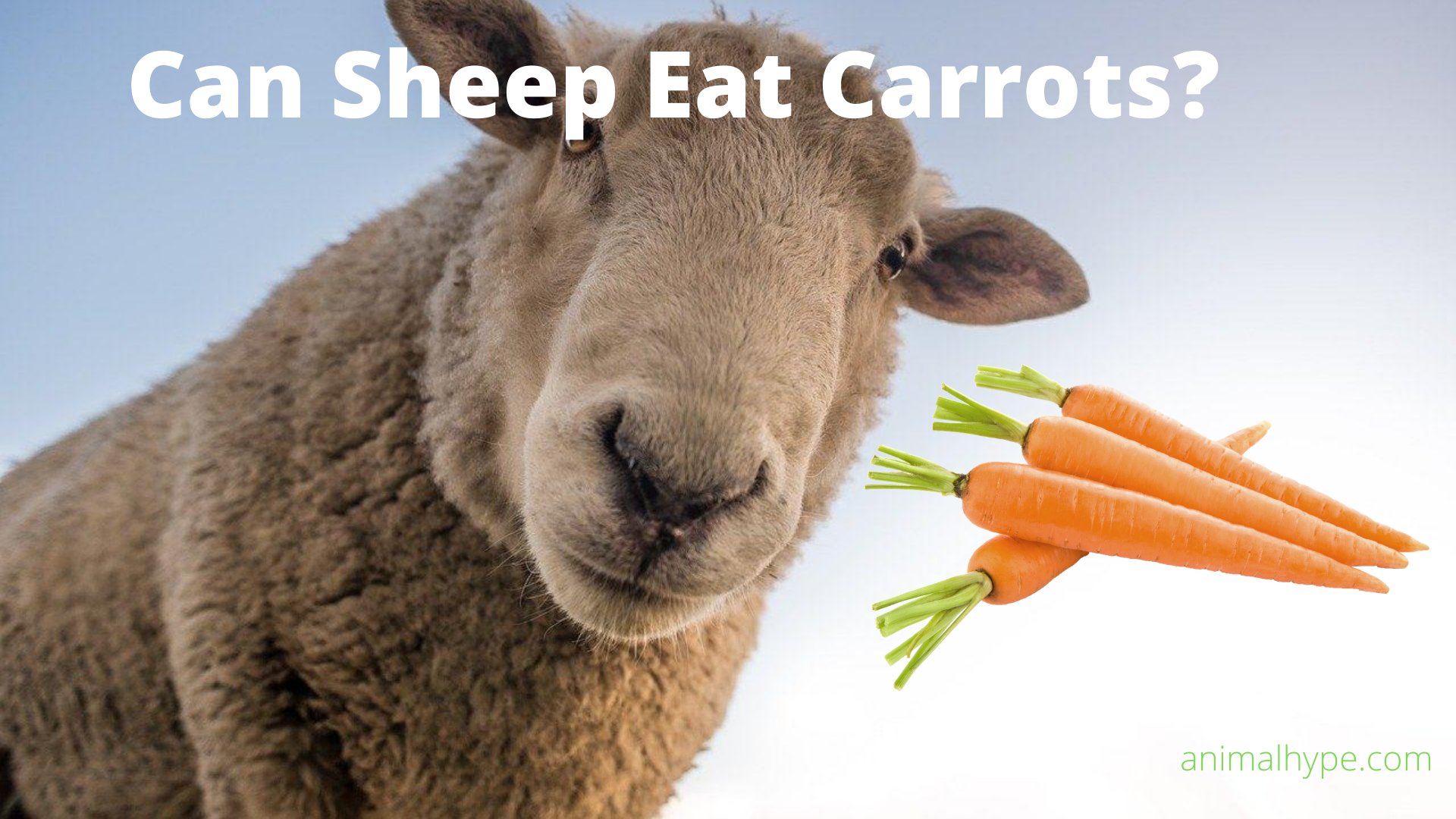 Can Sheep Eat Carrots