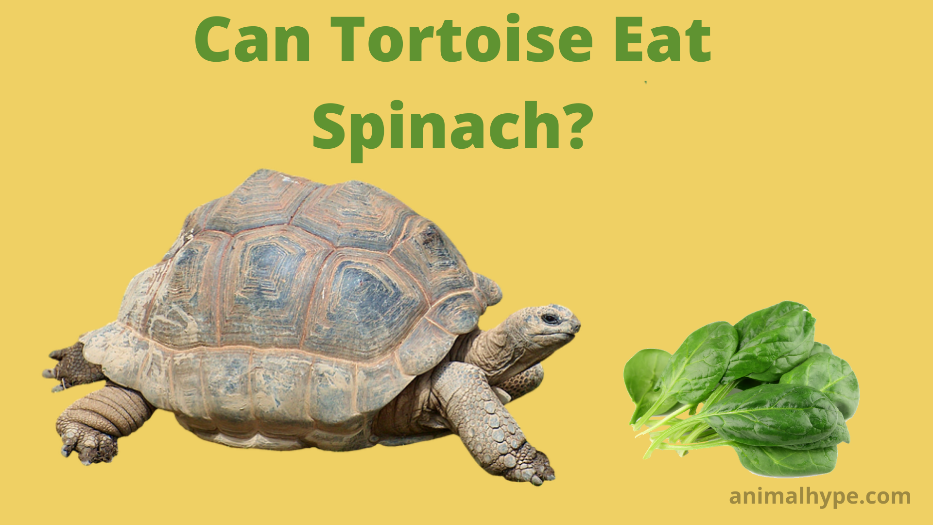 Can Tortoise Eat Spinach