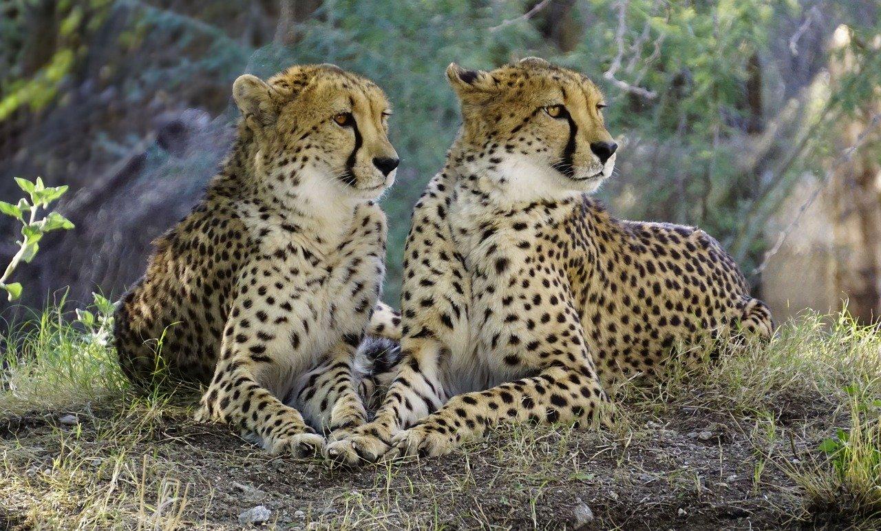 Cheetah Names