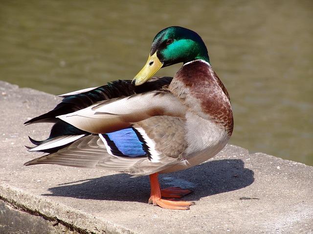 Diet of a duck