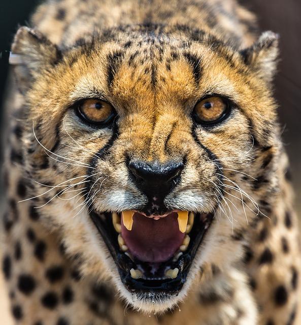 Famous Cheetah Names