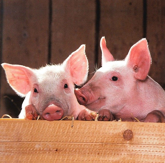 Feeding bananas to pigs