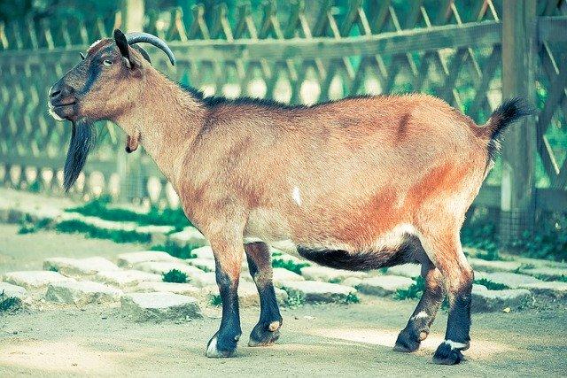 Goat Fur
