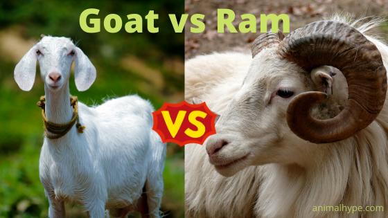 Goat vs Ram